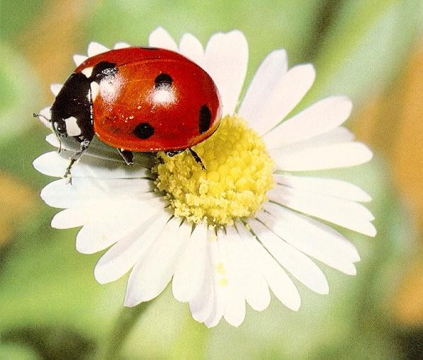 lady bugs bees flowers - photo #25